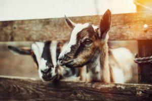 Goat Yoga in Galena