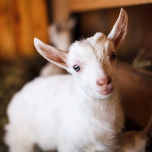 Goat yoga is one of the best new things to do in Galena Il